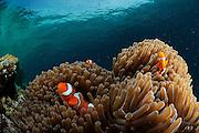 False Clown anemonefish (Amphiprion ocellaris). North Raja Ampat, West Papua, Indonesia, Pacific Ocean | Falsche Clownfisch (Amphiprion ocellaris), der auch Orangeringel- Anemonenfisch genannt wird. Raja Ampat, West Papua, Indonesien, Pazifischer Ozean