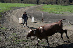 Craig Wortman blocks a cow lane to divert the herd into a paddock on the cows' first day out to pasture last spring in South Randolph, Vt., Wednesday, May 11, 2016. (Valley News - James M. Patterson) Copyright Valley News. May not be reprinted or used online without permission. Send requests to permission@vnews.com.