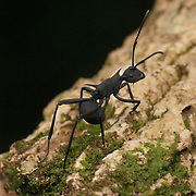 The Black Spiny Ant, Polyrhachis armata, in Khao Yai National Park, Thailand.