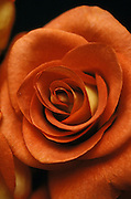 Close up of a blooming rose