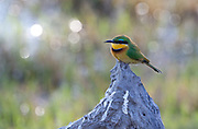 Little Bee-eater on stump, Okavango Delta.