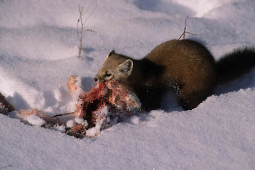 Pine Marten, (Martes americana) Feeding on snowshow hare that he took a way from a hawk. Southern Canada.