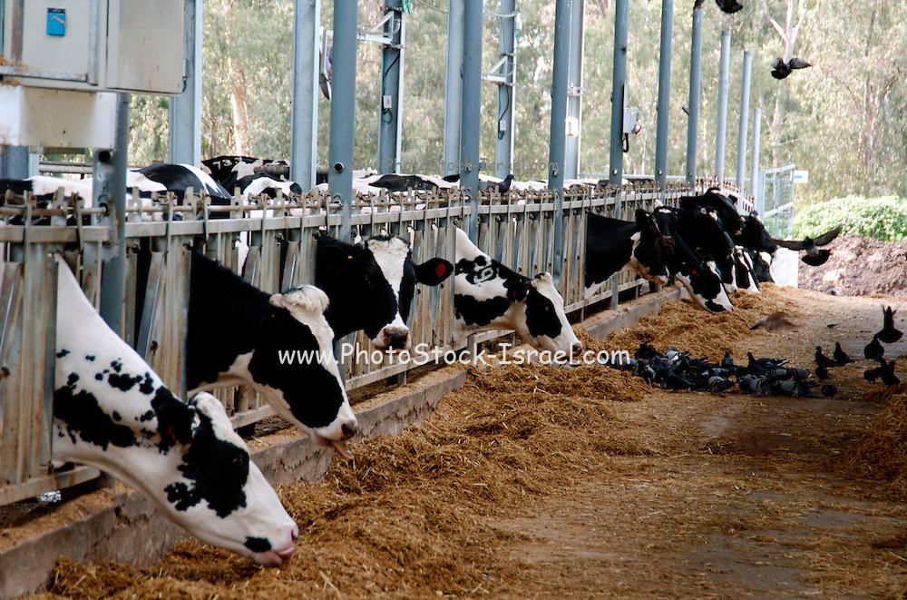 cows in an enclosure at a dairy farm