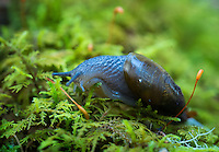 a semi-slug, a unique species endemic to the southern appalachian highlands, crawls across a moss covered log in the boreal forest atop Clingman's Dome in Great Smoky Mountains National Park