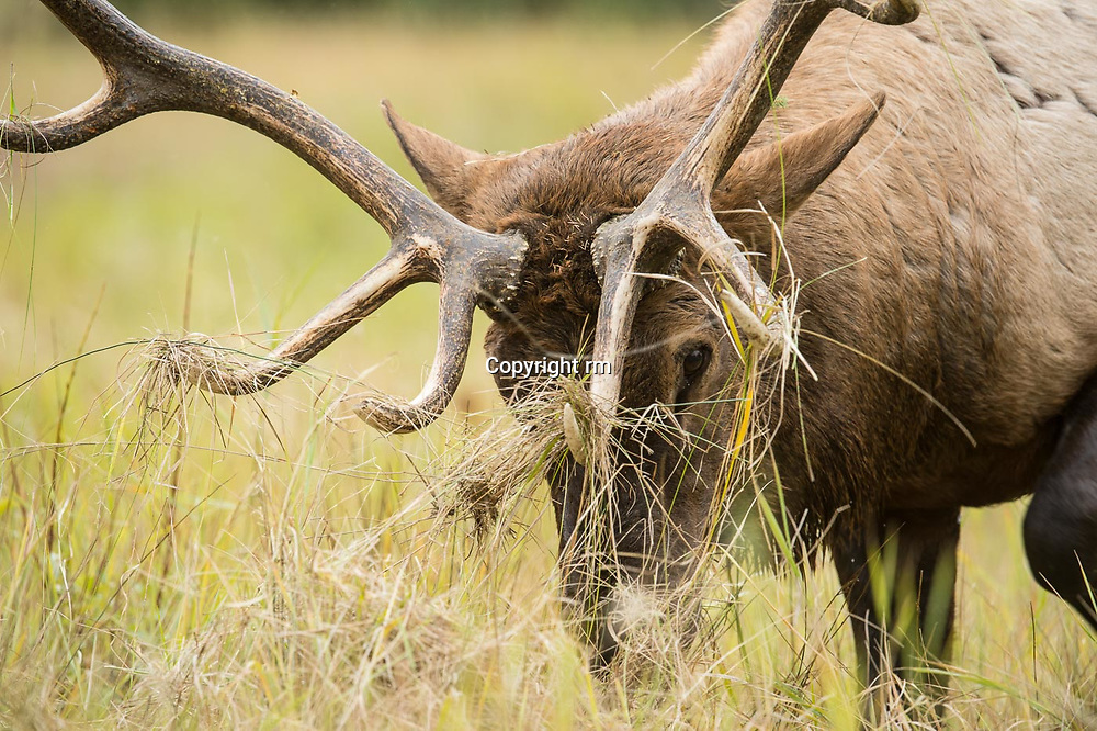 bull elk grass on antlers racking grass close up