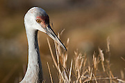 Young Sandhill Crane (Grus canadensis) in the evening light