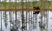 Bear and forest reflection.  Eastern Finland in August 2015.