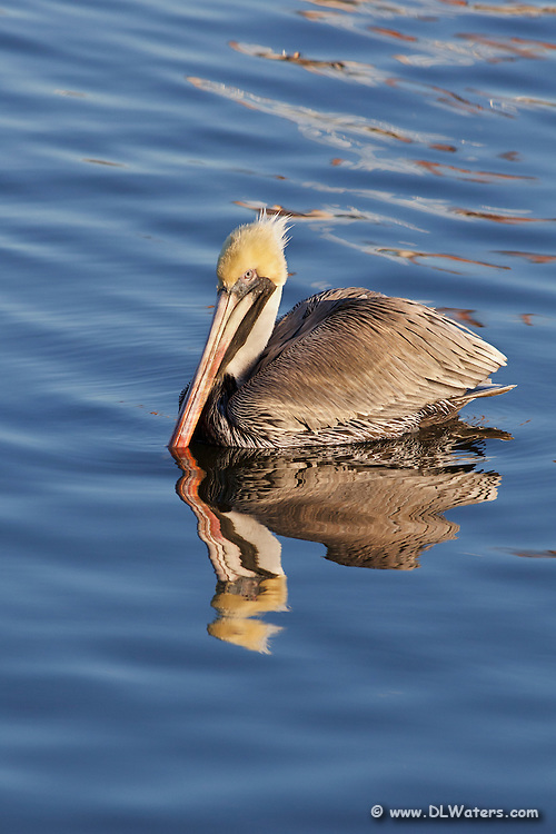 A Brown pelican in its winter breeding plumage. In the summer their yellow head turns brown.