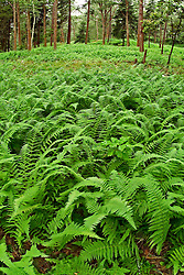 field of fern plants on forest floor