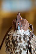 One of Sheik Saoud's falcons with leather cap.