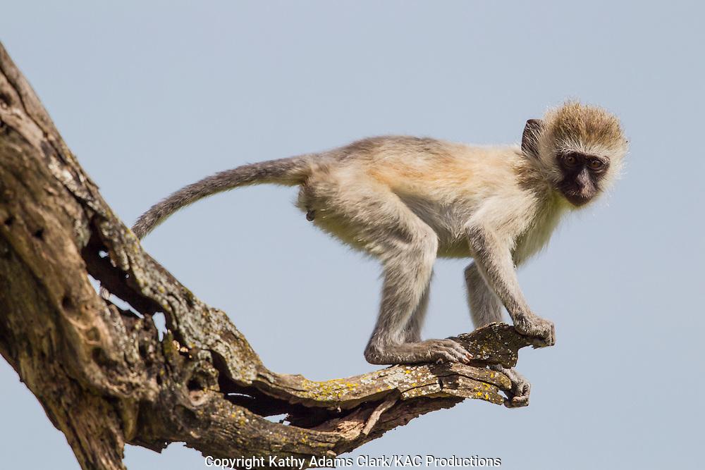 Vervet monkey, Ceropithecus pygerythrus, Serengeti, Tanzania, Africa.