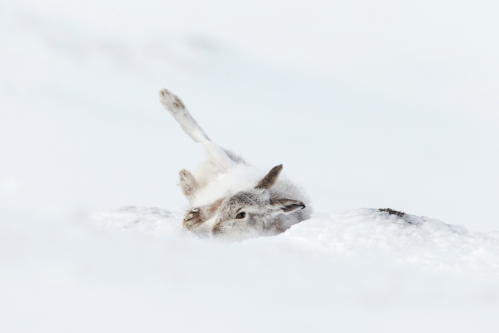 Mountain Hare (Lepus timidus) rolling in snow  as part of grooming bahaviour