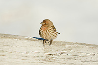 A young male House Finch sits on a farmers fence rail in early January.