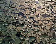 Water lilies on beaver pond near Eagle Lake, Mount Desert Island, Acadia National Park, Maine
