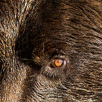 USA, Alaska, Katmai National Park, Close-up of Coastal Brown Bear's eye and muzzle (Ursus arctos)