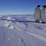 Emperor Penguin, (Aptenodytes forsteri) Pair at Atka Bay. Antarctica.