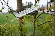 A name tag indicates the types to trees planted during a tree planting event at Murphy Park in Milpitas, California, on February 15, 2014. Volunteers and city officials planted 50 trees at both Murphy Park and Cardoza Park. (Stan Olszewski/SOSKIphoto)