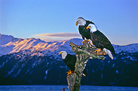 Mature Bald Eagles (Haliaeetus leucocephalus) on a old tree stump at sunrise. Homer Spit, Alaska.