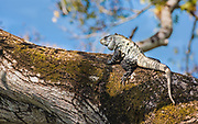 Iguana climb trees in search of birds, eggs and anything that moves.