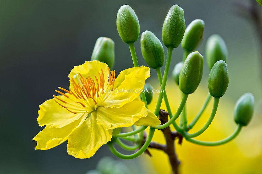 Vietnam Images-flower-nature-new year-hoa mai vàng -Hoàng thế Nhiệm
