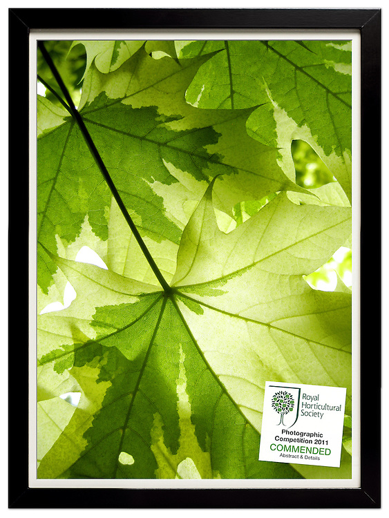 Lime Maple 2<br />