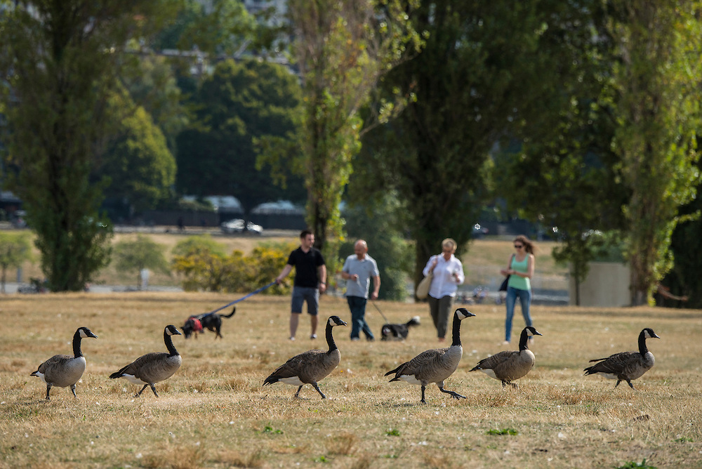 Canada, British Columbia, Vancouver , people walking dogs with canadian geese in park on University Peninsula