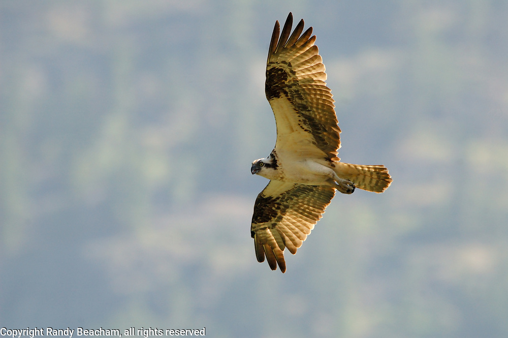 Osprey in flight over the Purcell Mountains. Kootenai National Forest, northwest Montana.