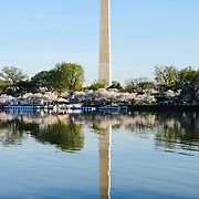 Washington Monument and some of the 1678 Cherry Blossom trees blooming in early spring around the Tidal Basin next to Washington's National Mall