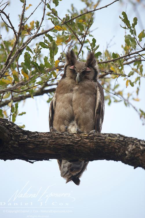 Giant eagle-owl, Sabi Sand area, South Africa.