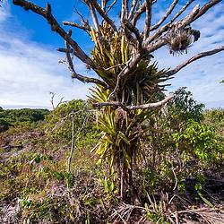 """""""Árvore na Mata Seca de Restinga (Paisagem) fotografado em Guarapari, Espírito Santo -  Sudeste do Brasil. Bioma Mata Atlântica. Registro feito em 2008.<br /> <br /> <br /> <br /> ENGLISH: Tree in Restinga Dry Forest  photographed in Guarapari, Espírito Santo - Southeast of Brazil. Atlantic Forest Biome. Picture made in 2008."""""""
