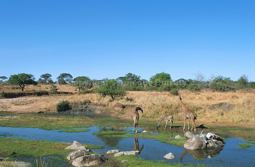 GIRAFES MASAI, PARC NATIONAL DE TANGIRE, TANZANIE