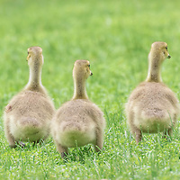 Three young goslings, still fluffy and downy, make tracks through the grass to their pond.