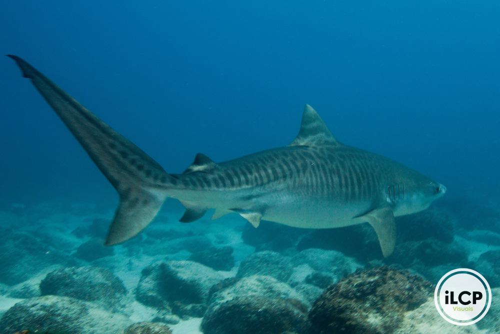 Tiger shark (Galeocerdo cuvier) in the Galapagos Islands, Ecuador