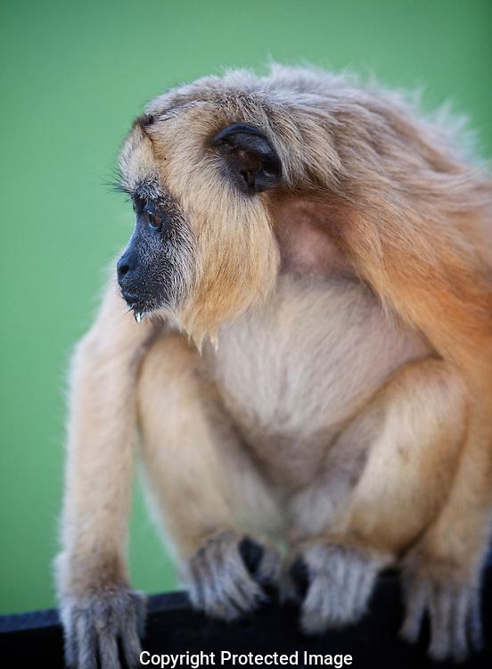 Black Howler Monkey. (Alouatta caraya) female., Araras Eco Lodge, Matto Grosso, Brazil, Isobel Springett