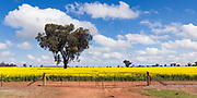 tree in a field of flowering canola crop under blue sky and cloud near Brucedale, New South Wales, Australia.