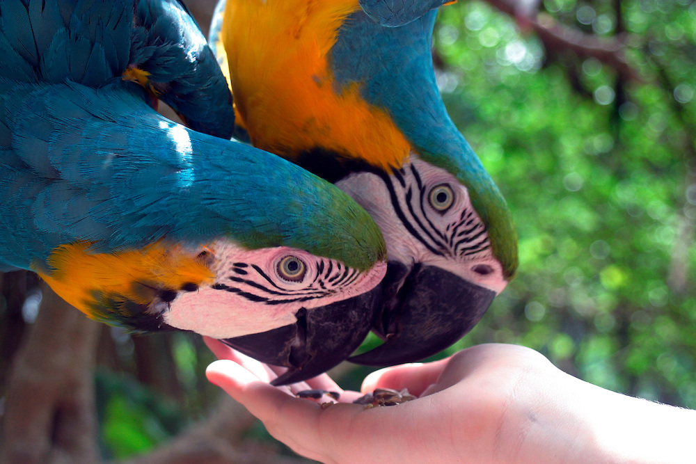 Parrots eating out of a hand.
