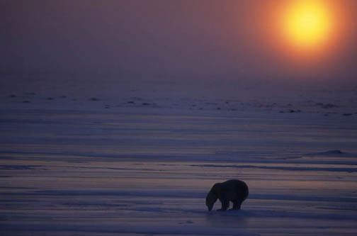 Polar Bear, (Ursus maritimus) Adult on ice. Sunset Churchill, Manitoba. Canada.