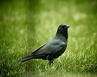 American Black Crow. Image taken with a Nikon D4 camera and 600 mm f/4 VR lens (ISO 640, 600 mm, f/4, 1/200 sec).