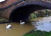 © Licensed to London News Pictures. 22/11/2012. Oxfordshire, UK Swans explore the Oxford-Coventry canal whoes banks have been flooded by the River Cherwell. Flooding in Oxfordshire today 22 November 2012. Heavy rain across large parts of the South West of the country has caused widespread flooding. Photo credit : Stephen Simpson/LNP