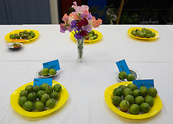 © Licensed to London News Pictures.04/08/15<br /> Egton, UK. <br /> <br /> <br /> Entries are displayed on a table during the annual Egton Gooseberry Show. <br /> There are only two Gooseberry societies left in the country. One in Cheshire and one at Egton in North Yorkshire. The annual show in Egton uses traditional Avoridupois scales to measure the weight of the berries and members of the society are fanatical about trying to grow the best berries each year. <br /> <br /> Photo credit : Ian Forsyth/LNP