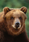 Image portrait of a brown bear (Ursus arctos)