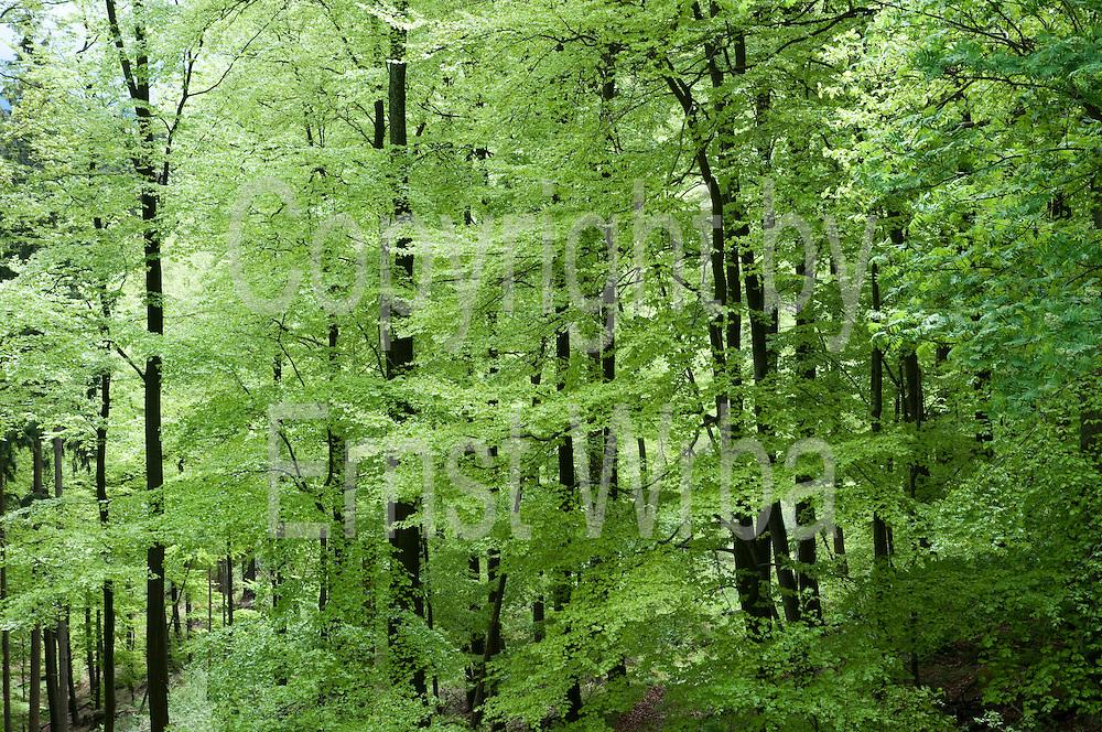 Buchenwald, Rabenklippe, Frühling, Bad Harzburg, Harz, Niedersachsen, Deutschland | forest, Rabenklippe, Bad Harzburg, Harz, Lower Saxony, Germany