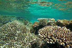 """Staghorn corals in """"The Aquarium"""", Clerke Lagoon at the Rowley Shaols."""