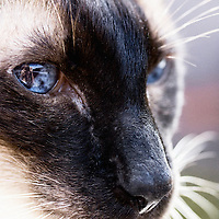 Jasper The Siamese Cat