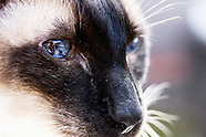 Jasper The Siamese Cat