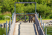 An Alaskan Brown bear stands near the pedestrian bridge over the Brooks River at Katmai National Park, Alaska.