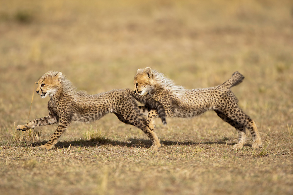 Africa, Kenya, Masai Mara Game Reserve, Cheetah cubs (Acinonyx jubatas) at play while running through short grass on savanna