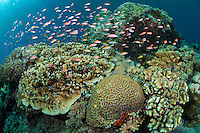 Schooling Anthias feed in a pristine hard coral garden<br /> <br /> Shot in Indonesia