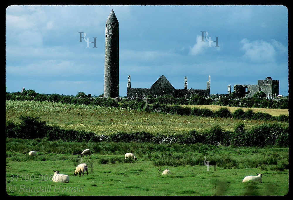 Sheep graze by Kilmacduagh round tower (112'h) where St. Colman founded monastery in 500s; Gort. Ireland