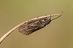 Grootvleugeligen, Megaloptera